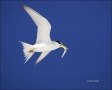 Least-Tern;Tern;Flight;Florida;Southeast-USA;Sterna-antillarum;flying-bird;one-a
