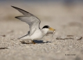 Tern;Florida;Southeast-USA;Least-Tern;Tern;Florida;Southeast-USA;Sterna-antillar
