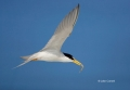 Tern;Flight;Florida;Southeast-USA;Least-Tern;Sterna-antillarum;Flying-bird;One-a