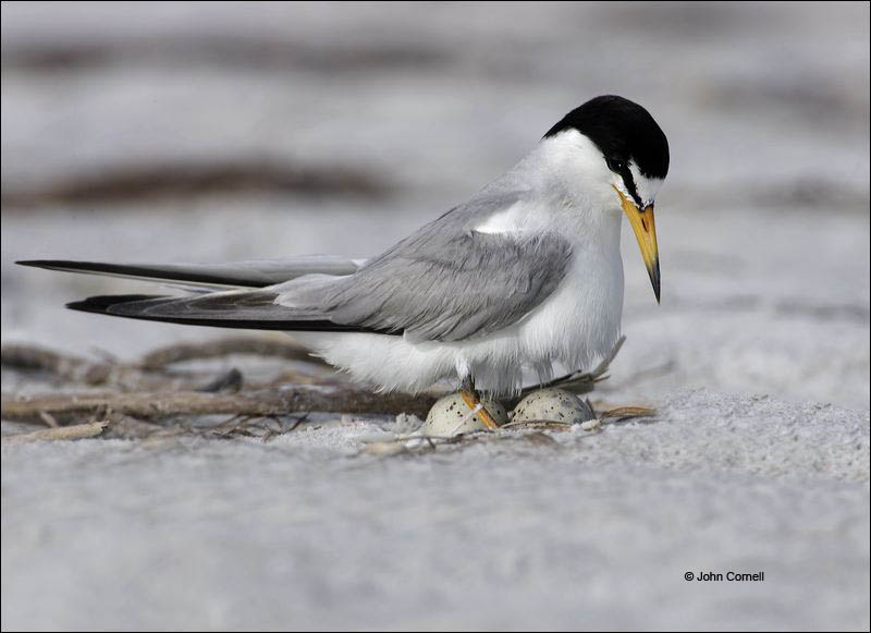 Least Tern;Tern;Nest;Sterna antillarum;Eggs;one animal;close-up;color image;nobody;photography;day;birds;animals in the wild;outdoors;Wildlife;eggs;Parent;chick;chicks;bond;bonding;close;closeness;cute;families;family;fledgling;immature;innocence;innocent;juvenile;juveniles;maternal;mates;nurture;nurturing;parent;parenting;partner;partnering;protection;relationship;together;togetherness;youth
