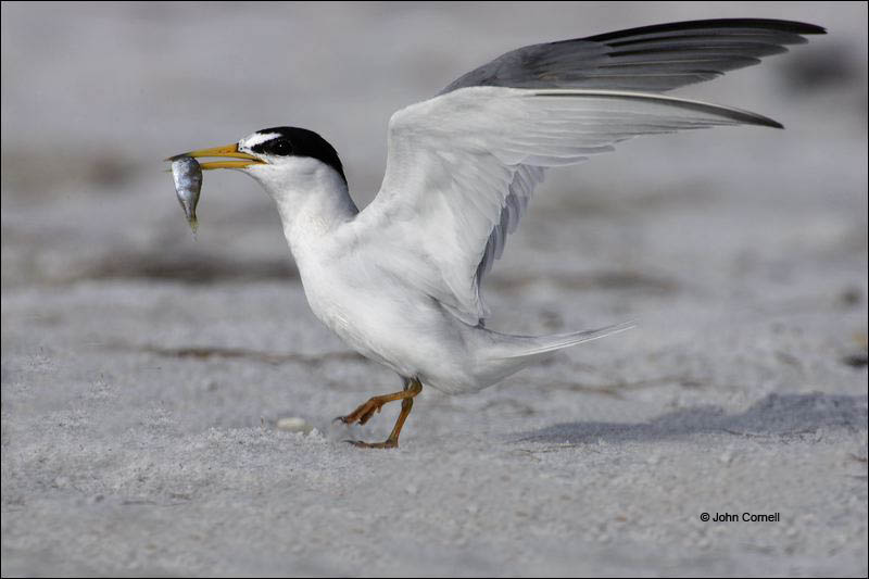 Least Tern;Tern;Prey;Sterna antillarum;one animal;close-up;color image;nobody;photography;day;outdoors. Wildlife;birds;animals in the wild