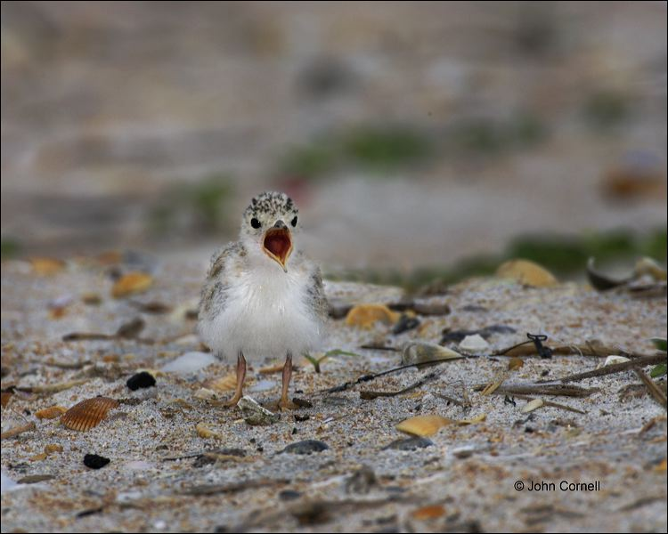 Chick;Killdeer;one animal;close-up;color image;nobody;photography;day;birds;animals in the wild;beach;mud flat;foraging;wate;outdoors;Wildlife;outdoors. Wildlife;Least Tern;Tern;Sterna antillarum;Chicks