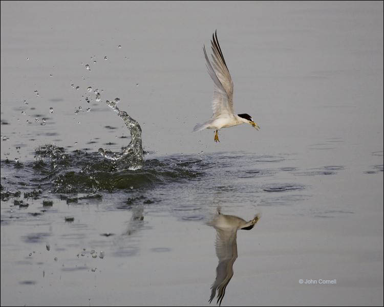 Least Tern;Tern;Flight;Prey;Sterna antillarum;flying bird;one animal;close-up;color image;nobody;photography;day;outdoors. Wildlife;birds;animals in the wild;flight
