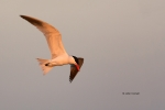 Caspian-Tern;Flying-Bird;Hydroprogne-caspia;Photography;Tern;action;active;aloft