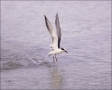 Forsters-Tern;Tern;Flight;Prey;Sterna-forsteri;feeding-behavior;one-animal;close