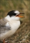 Arctic-Tern;Tern;Juvenile;Sterna-paradisaea;one-animal;close-up;color-image;nobo