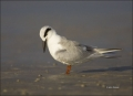 Forsters-Tern;Tern;Sterna-forsteri;one-animal;close-up;color-image;nobody;photog