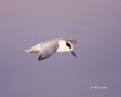 Tern;Flight;Sterna-forsteri;Forsters-Tern;Flying-bird;One-animal;Close-up;Color-