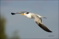 Royal-Tern;Tern;Flight;Sterna-maxima;flying-bird;one-animal;close-up;color-image