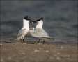 Florida;Southeast-USA;Sandwich-Tern;Tern;Breeding-Behavior;Sterna-sandvicensis;o