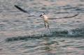 Sandwich-Tern;Tern;Sterna-sandvicensis;Flight;Feeding-Behavior;Flying-bird;actio