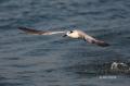 Sandwich-Tern;Tern;Sterna-sandvicensis;Flying-bird;action;aloft;behavior;flight;