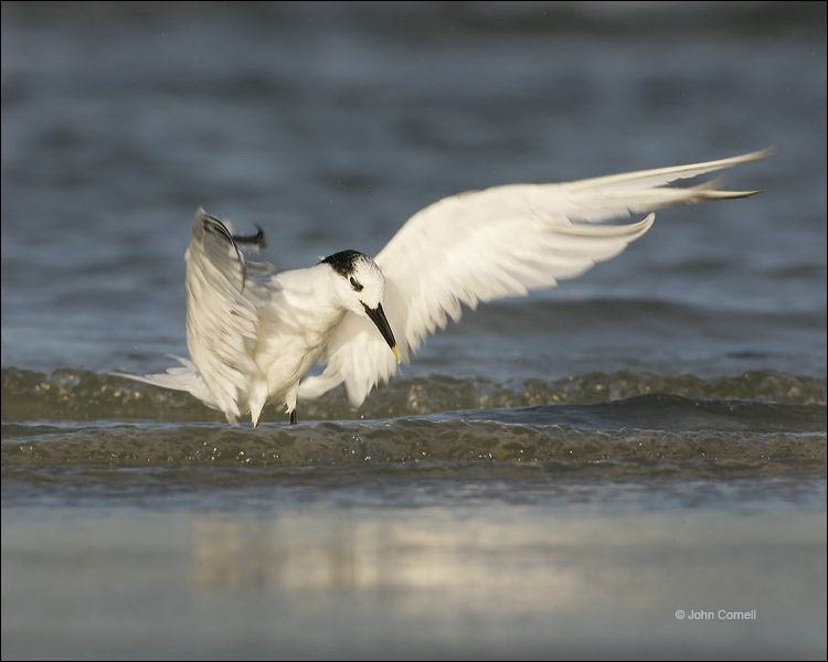Sandwich Tern;Sterna sandvicensis;one animal;close-up;color image;nobody;photography;day;outdoors. Wildlife;birds;animals in the wild