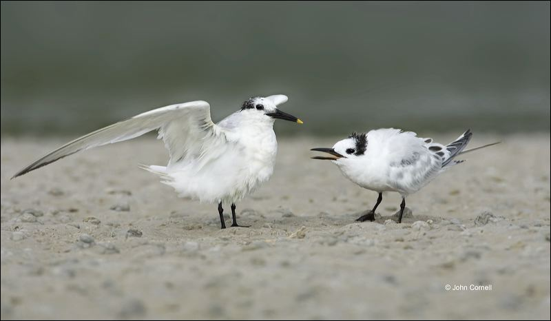Sandwich Tern;Tern;Sterna sandvicensis;feeding behavior;one animal;close-up;color image;nobody;photography;day;outdoors. Wildlife;birds;animals in the wild;foraging;feeding;prey;Chick