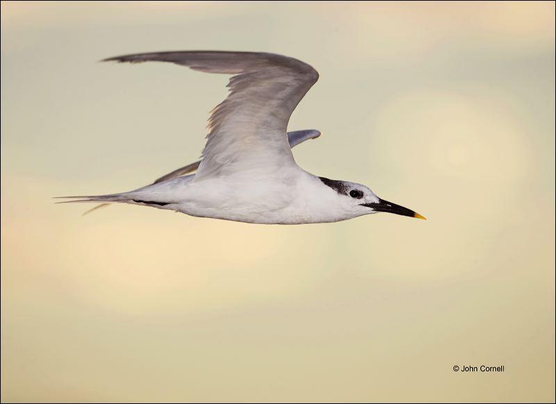 Sandwich Tern;Tern;Flight;Sterna sandvicensis;Prey;flying bird;one animal;close-up;color image;nobody;photography;day;outdoors. Wildlife;birds;animals in the wild;flight;Flying Bird;action;active;aerodynamic;behavior;flying;glide;gliding;in flight;soar;soaring;wing;winged;wings;color photograph