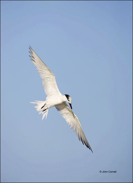 Sandwich Tern;Tern;Flight;Sterna sandvicensis;Prey;flying bird;one animal;close-up;color image;nobody;photography;day;outdoors. Wildlife;birds;animals in the wild;flight;Flying Bird;action;active;aerodynamic;behavior;flying;glide;gliding;in flight;soar;soaring;wing;winged;wings;color photograph