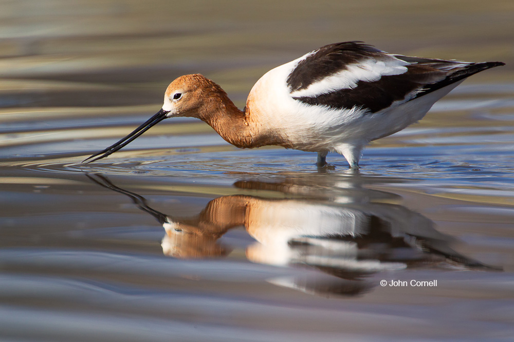 American Avocet;Avocet;Breeding Plumage;Forage;One;Recurvirostra americana;Shoreline;avifauna;bird;birds;color image;color photograph;feather;feathered;feathers;foraging;natural;nature;outdoor;outdoors;shorebirds;wild;wilderness;wildlife