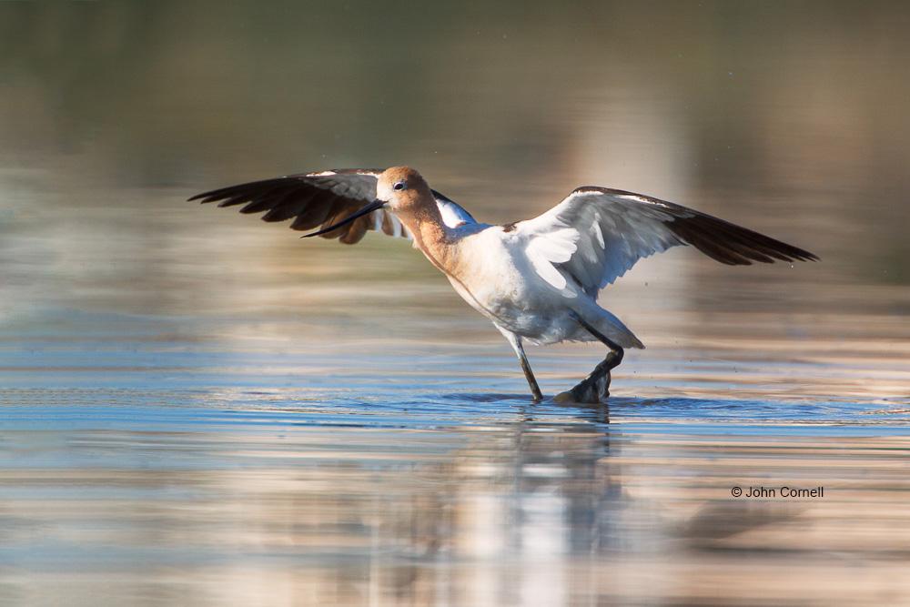 American Avocet;Avocet;Recurvirostra americana;Reflection;Shorebird;Shoreline;foraging;water