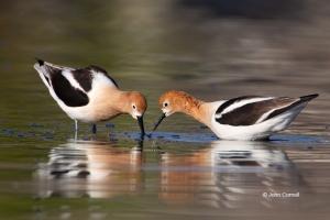 American-Avocet;Avocet;Recurvirostra-americana;Reflection;Shorebird;Shoreline;fo