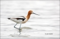 American-Avocet;Avocet;Recurvirostra-americana;Shorebird;shorebirds;waders;close