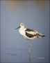 American-Avocet;Avocet;Recurvirostra-americana;shorebirds;one-animal;close-up;co