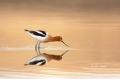 American-Avocet;Avocet;Recurvirostra-americana;Breeding-Plumage;Reflection;Shore