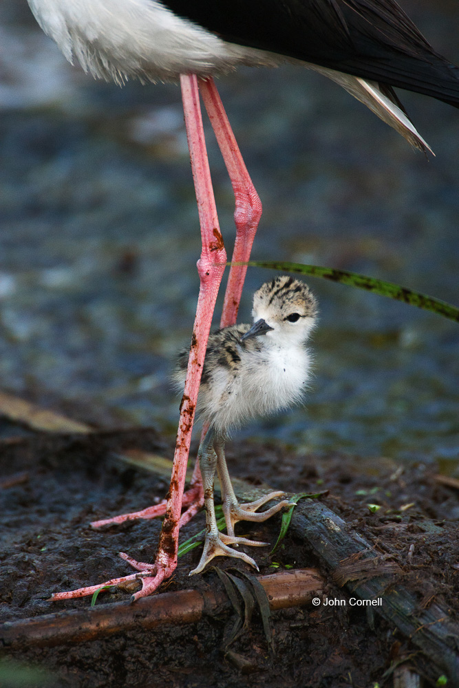 Animals in the Wild;Black-necked Stilt;Himantopus mexicanus;Mud Flat;Offspring;Photography;Shorebird;beach;bird;birds;bond;bonding;chick;chicks;close;close up;closeness;closeup;color image;color photograph;cute;day;families;family;feeding;fledgling;fledglings;foraging;immature;innocence;innocent;juvenile;juveniles;maternal;mates;nurture;nurturing;outdoors;parent;parenting;partner;partnering;precious;protection;relationship;shallows;shorebirds;sweet;together;togetherness;waders;water;wildlife;youth