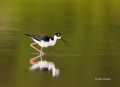 Himantopus-mexicanus;Black-necked-Stilt;One;one-animal;avifauna;bird;birds;feath