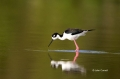 Black-necked-Stilt;Himantopus-mexicanus;Stilt;One;one-animal;avifauna;bird;birds