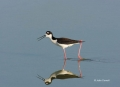 Reflection;Black-necked-Stilt;Himantopus-mexicanus;Black-necked-Stilt;Shorebird;