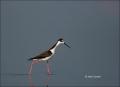 Black-necked-Stilt;Reflection;Black-necked-Stilt;Himantopus-mexicanus;Stilt;One;