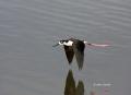 Black-necked-Stilt;Himantopus-mexicanus;Stilt;Flying-bird;action;aloft;behavior;