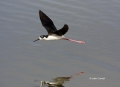Black-necked_Stilt