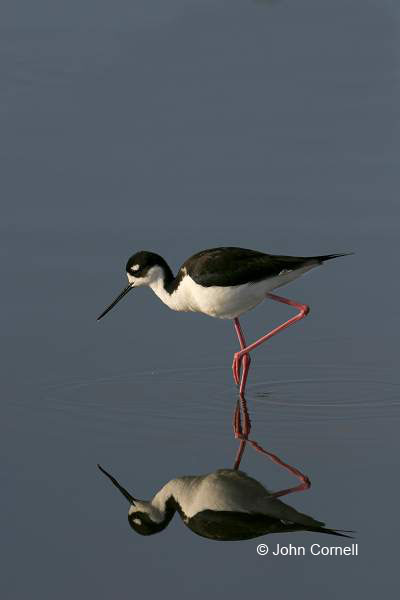 Black-necked Stilt;Reflection;Himantopus mexicanus;Shorebird;shorebirds;closeup;color image;photography;day;outdoors;wildlife;bird;birds;animals in the wild;mud flat;beach;water;foraging;feeding;One;one animal;avifauna;feather;feathered;outside;untamed;wild;color;color photograph;daytime;close up;feathers;wilderness;perch;perching;watching;watchful