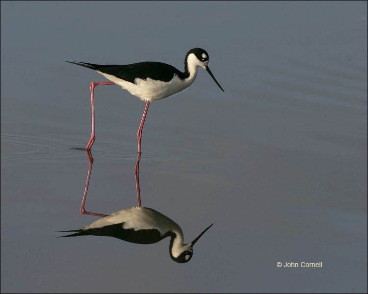 Black-necked Stilt;Reflection;Himantopus mexicanus;one animal;close-up;color image;nobody;photography;day;outdoors. Wildlife;birds;animals in the wild;Black necked Stilt;Shorebird;shorebirds;waders;closeup;close up;outdoors;wildlife;bird;mud flat;beach;water;foraging;feeding;shallows;color photograph