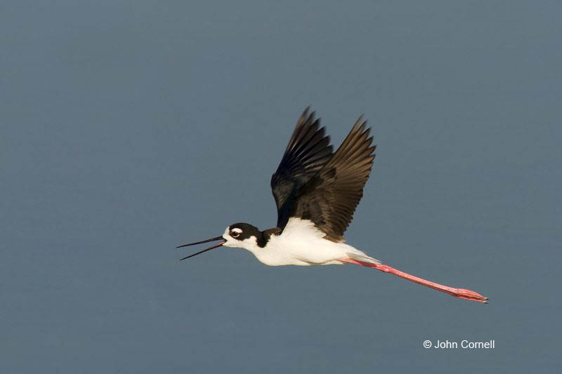 Reflection;Black necked Stilt;Himantopus mexicanus;Flight;flight;flying bird;action;aloft;behavior;fly;flying;soar;wing;winged;wings;Black-necked Stilt;Shorebird;Shorebirds;one;one animal;avifauna;bird;birds;feather;feathered;outdoors;outside;untamed;wild;color;color photograph;daytime;Water;Beach