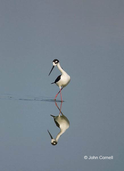 Reflection;Black necked Stilt;Himantopus mexicanus;Black-necked Stilt;Shorebird;Shorebirds;one;one animal;avifauna;bird;birds;feather;feathered;outdoors;outside;untamed;wild;color;color photograph;daytime;Water;Beach
