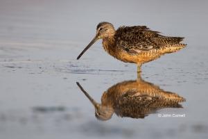 Dowitcher;Limnodromus-scolopaceus;Long-billed-Dowitcher;avifauna;bird;birds;colo