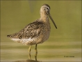 Short-billed-Dowitcher;Dowitcher;Southeast-USA;shorebirds;Shorebird;Limnodromus-