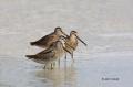 Short_billed-Dowitcher;Dowitcher;Limnodromus-griseus;Shorebird;shorebirds;closeu