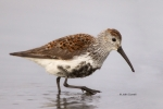 Breeding-Plumage;Calidris-alpina;Dunlin;Forage;Migration;Mud-Flat;Shoreline;Wadi