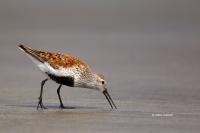 Calidris-alpina;Dunlin;Feeding-Behavior;One;Shorebird;avifauna;beach;bird;birds;