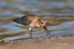 Animals-in-the-Wild;Calidris-alpina;Dunlin;Mud-Flat;One;Photography;Shorebird;av