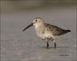 Dunlin;Florida;Shorebird;shorebirds;one-animal;close_up;color-image;nobody;photo