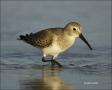 Florida;Dunlin;Southeast-USA;Calidris-alpina;shorebirds;one-animal;close_up;colo