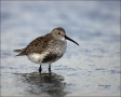 Dunlin;Breeding-Plumage;Shorebird;Calidris-alpina;shorebirds;one-animal;close_up