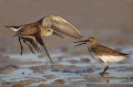 Dunlin;Calidris-alpina;Shorebird;shorebirds;closeup;color-image;photography;day;