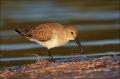 Dunlin;Calidris-alpina;Shorebird;shorebirds;waders;closeup;close-up;color-image;