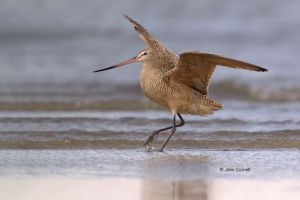 Godwit;Limosa-fedoa;Marbled-Godwit;Sand;Shorebird;Shoreline;Surf;beach;flight;fo