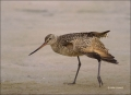 Florida;Marbled-Godwit;Godwit;Southeast-USA;Limosa-fedoa;shorebirds;one-animal;c